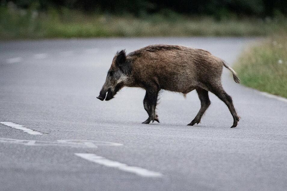 Ein Wildschwein hat in Nordrhein-Westfalen für einen Polizeieinsatz gesorgt.