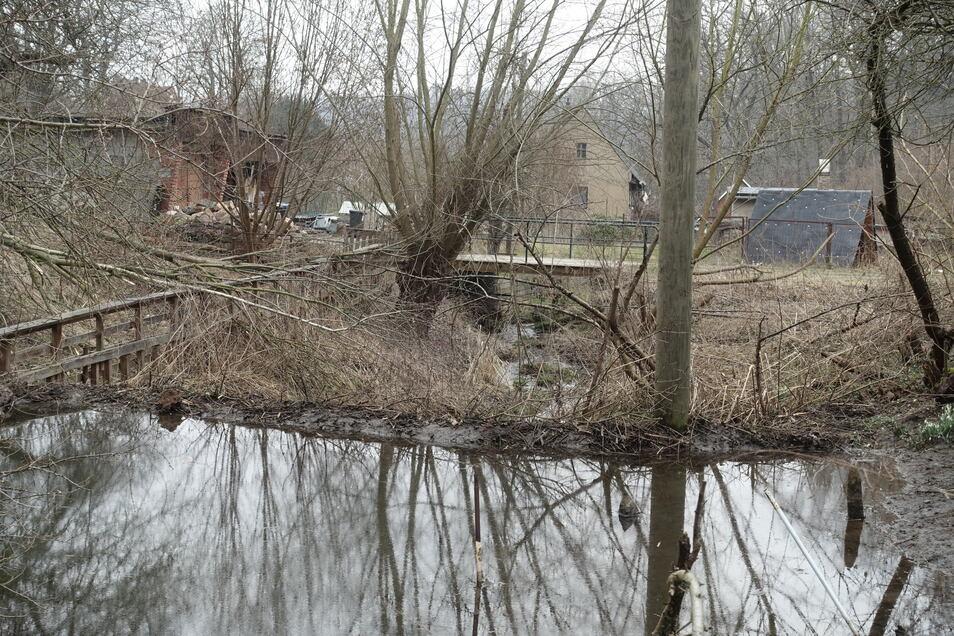 Ein scheues Tier ist der Biber nicht. In unmittelbarer Nachbarschaft von Menschen hat er sich in Ebersbach angesiedelt und mit einem imposanten Damm den Bach angestaut. Einen Strommast hat er in sein Bauwerk einbezogen.