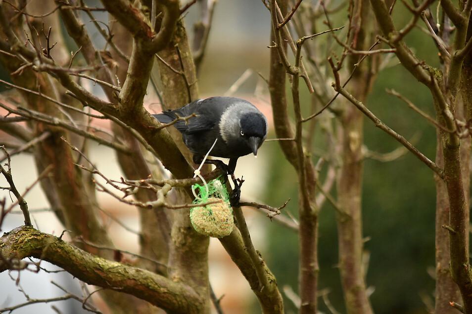 Meisenknödel werden auch von anderen Vögeln gern besucht. Dass sich wie hier allerdings eine Krähe dran zu schaffen macht, sieht man auch nicht jeden Tag.