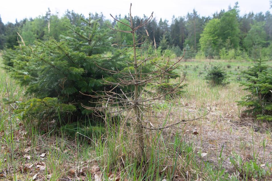 Immer mehr abgestorbene Exemplare finden sich zwischen den Weihnachtsbäumen in der Bühlauer Forstbaumschule.