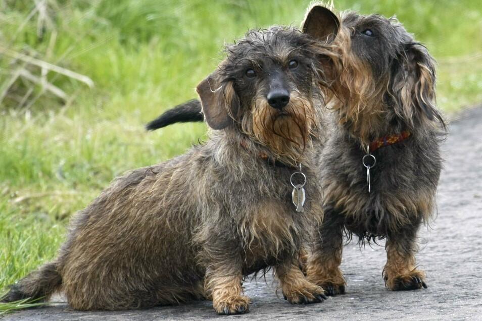 Diese beiden Hunde sind angemeldet, tragen dementsprechend eine Marke. In Königsbrück wurde die Hundesteuer jetzt erhöht.