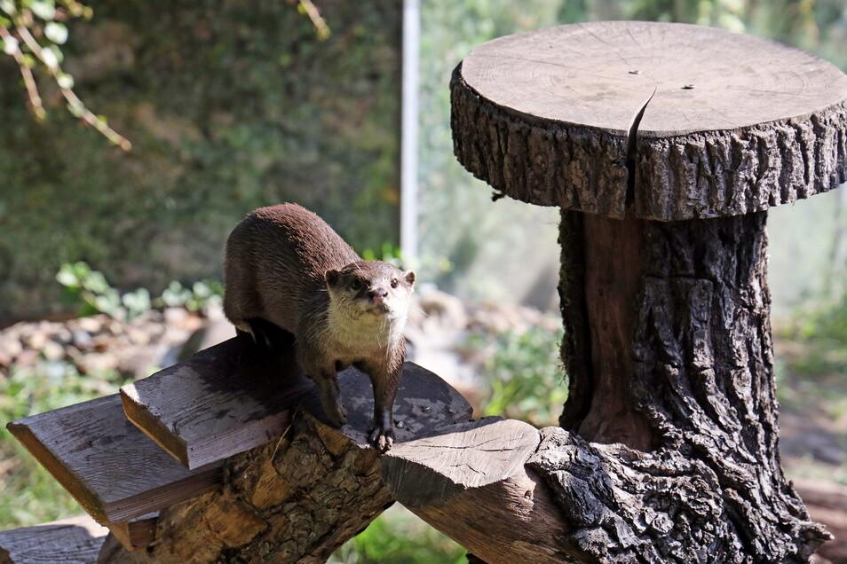Fotogen: Die neuen Zwergotter im Riesaer Tierpark sind alles andere als kamerascheu.