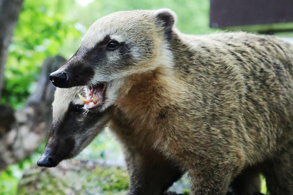Wer ist wer? Die Nasebärenbrüder im Zoo Dresden sind nur schwer auseinanderzuhalten.