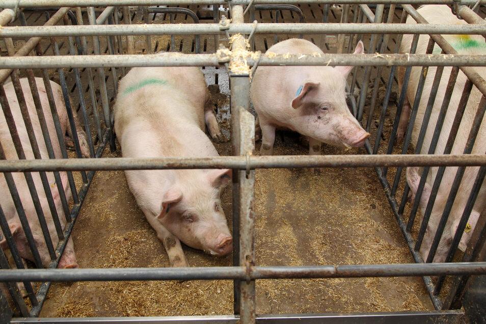 Schweine in einem konventionellen Kastenstall.