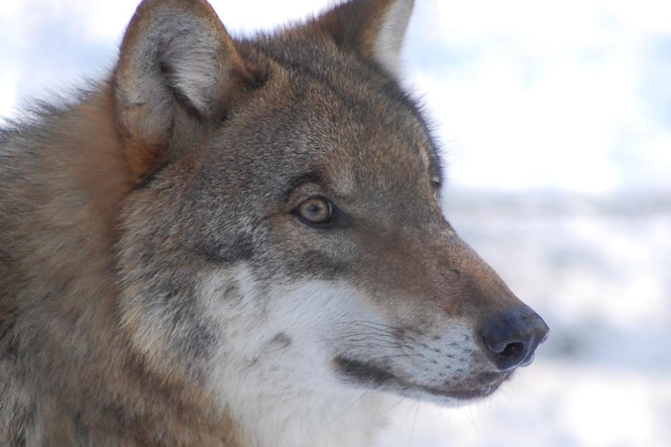 Dass ein Wolf im Elbetierpark Hebelei Tiere reißt, fürchtet Betreiber Sven Näther. Erst vor wenigen Wochen hatte ein Wolf im nahegelegenen Wölkisch ein Schaf gerissen.