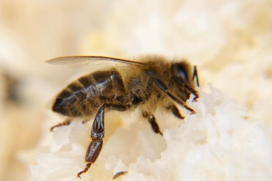 Die Dunkle Biene im Anflug.