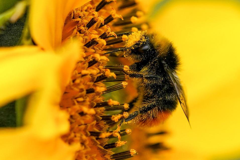 Ein Pelz aus Pollen. Diese Hummel ist wichtig, damit Wild- und Nutzpflanzen bestäubt werden. Sie zählt zu den Wildbienen. Ein neues Projekt zeigt, wie sie geschützt werden können.