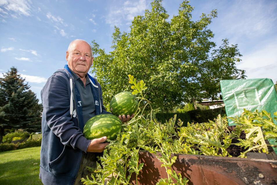 Rainer Kilian aus Pirna-Copitz freut sich über die gute Melonen-Ernte in diesem Jahr.