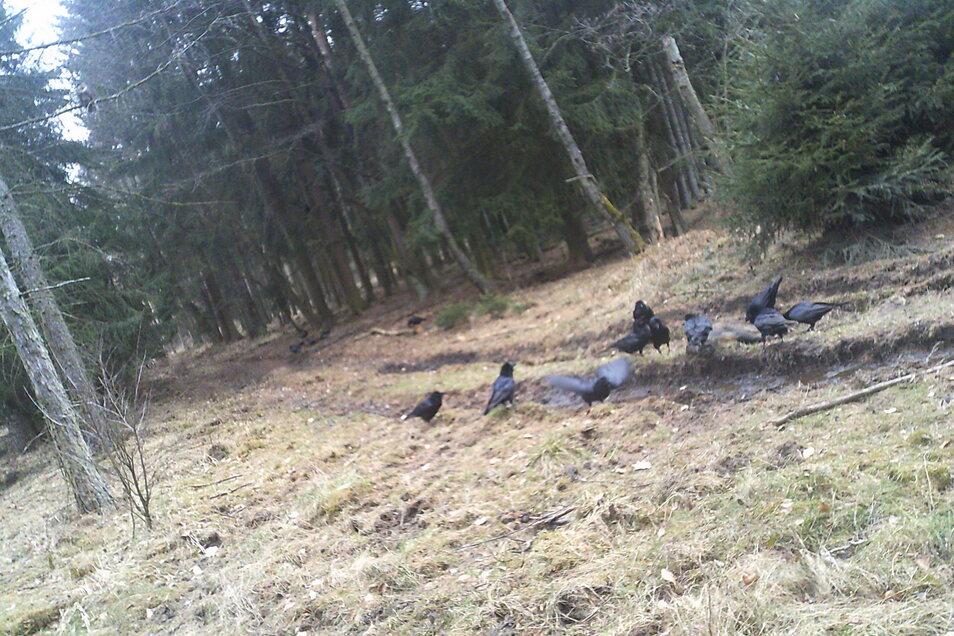 Ein Bild vom 6. März, aufgenommen mit einer Wildtierkamera von Hans Jochen Nevries: Vögel fressen das Aas eines geschossenen Schweines und tragen das Virus weiter.
