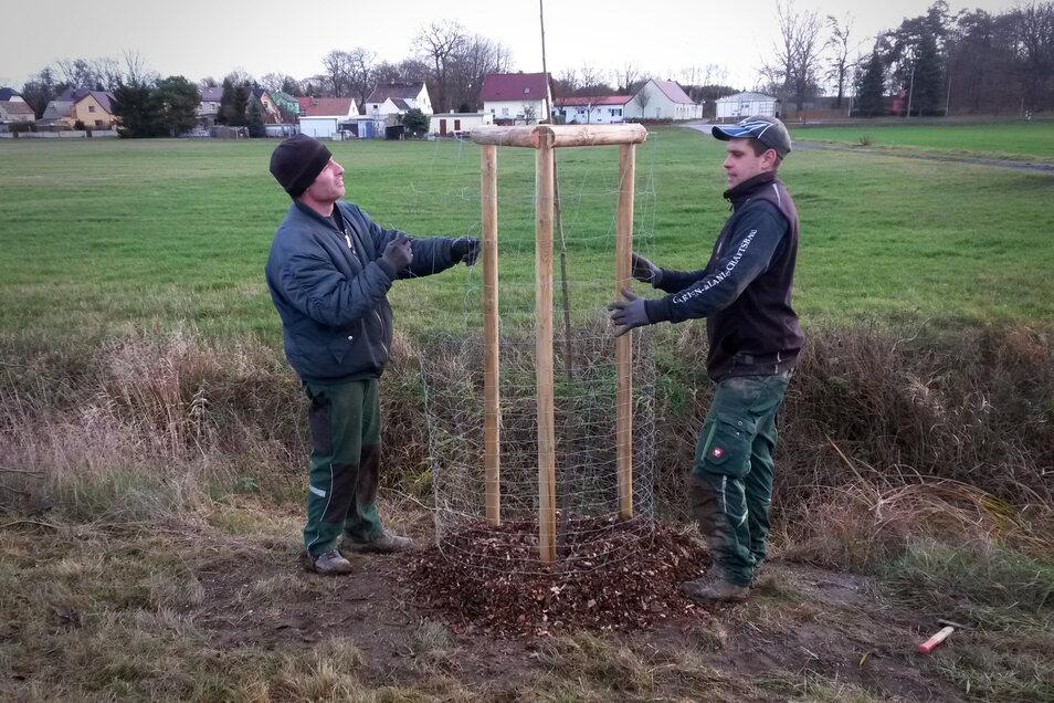 Mitarbeiter der Oschatzer Galaubau-Firma Müller pflanzen Weiden nahe Koselitz.