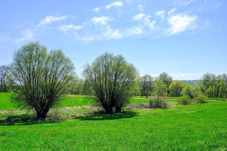 Am Stand der Bäume ist der alte Verlauf des Lößnitzbaches neben der Panzerstraße in Richtung Elberadweg und Fluss noch gut zu erkennen. Dort soll das Gewässer in Zukunft wieder lang fließen.