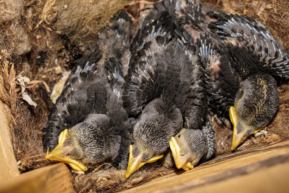 Seit vergangenem Jahr brüten auch Dohlen im Kirchturm. In diesem Jahr gibt es erstmals zwei Brutpaare. In jedem der beiden Nester gibt es vier Jungtiere.