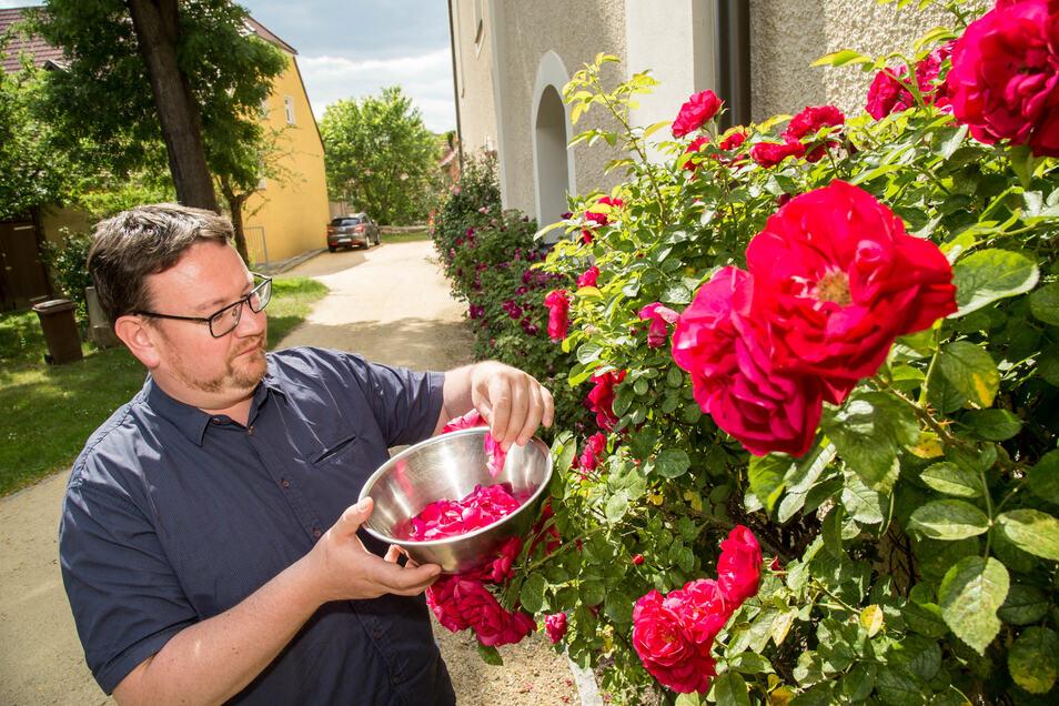 Die neueste Kreation des Rothenburger Pfarrers: Daniel Schmidt sammelt Rosenblätter. Daraus entsteht dann Likör, der Geld für neues Gestühl in der Winterkirche einspielen soll.
