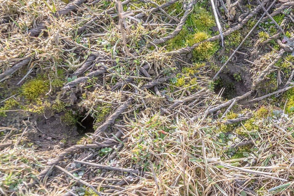 Löcher im Elbdeich, wie hier bei Promnitz, sind ein Problem. Doch wer verursacht sie? Mäuse allein sind nach Angaben der Landestalsperrenverwaltung nicht daran Schuld.