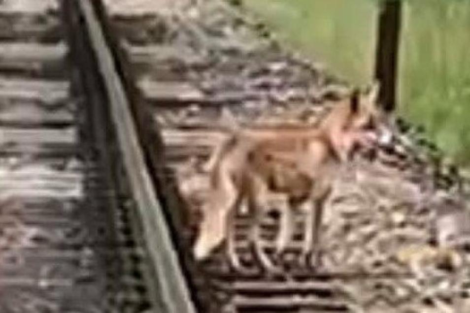 Der Vertreter welcher Tierart ist dieser Vierbeiner - Goldschakal oder Fuchs? Das unscharfe Foto wurde in Radebeul geschossen.
