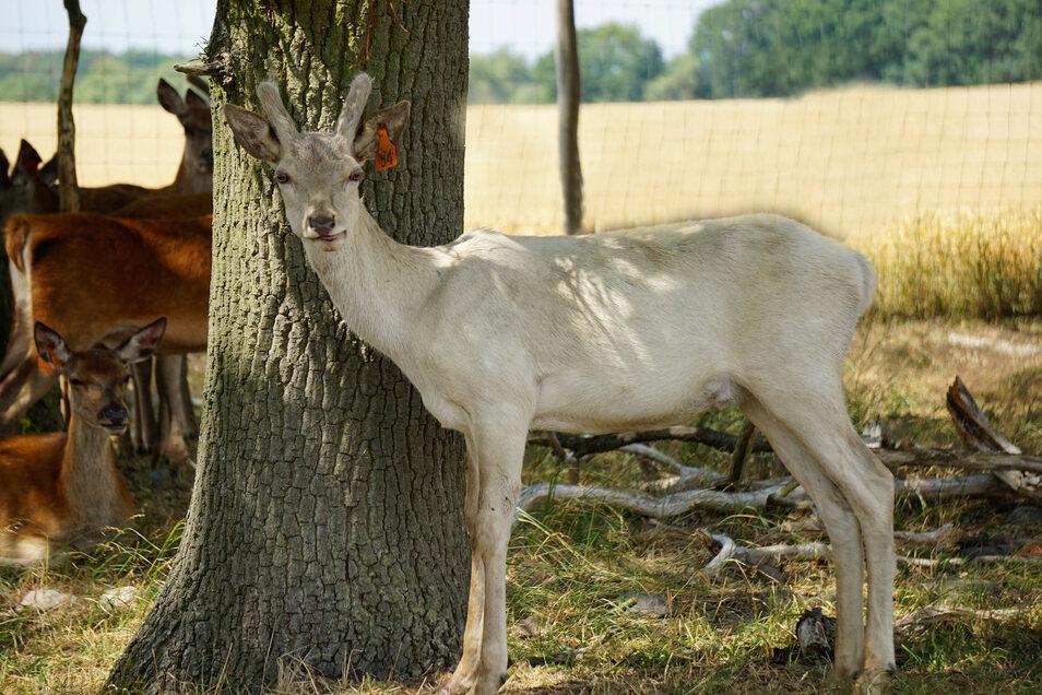Noch lebt der junge Hirsch in der Uckermark. Aber bis zum Herbst soll er nach Moritzburg umziehen.