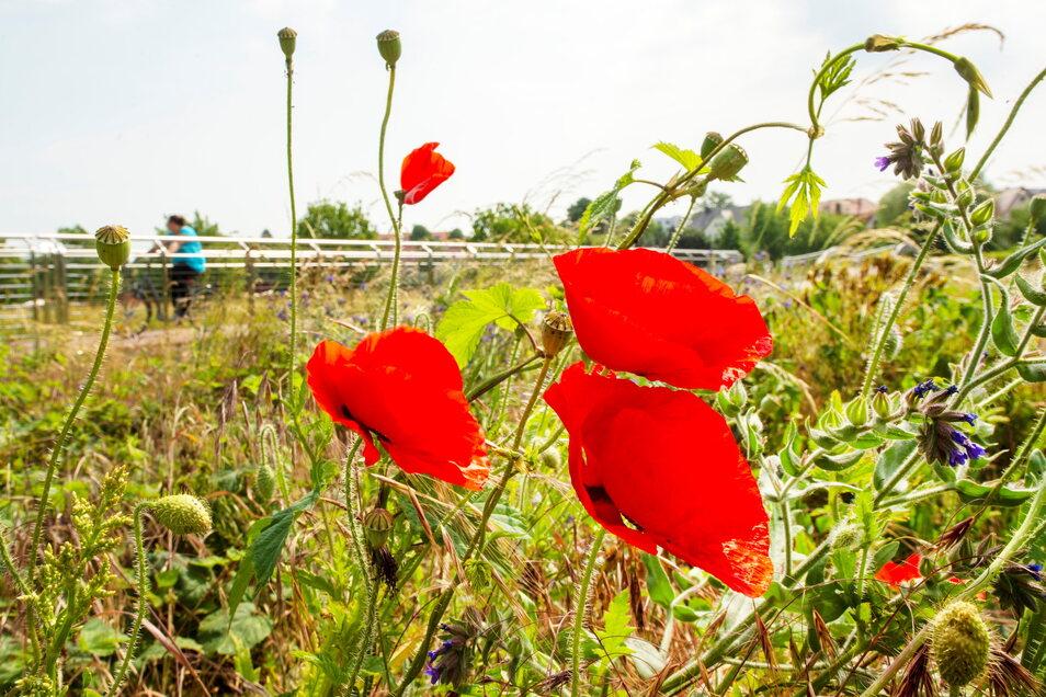 Ein Traum in rot: Ein echter Hingucker sind die Mohnblumen, die zurzeit im ehemaligen Landesgartenschaugelände blühen.