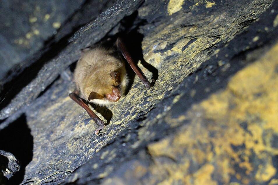 Fledermaus im Schlafquartier, hier in einem ehemaligen Eisenbahntunnel im Lohmgrund bei Pirna: Tagsüber abhängen, nachts jagen.