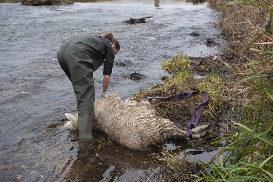 Kein schöner Moment: Mitarbeiter der Fachstelle Wolf mussten am 18. Dezember ein totes Schaf in Großraschütz bergen.