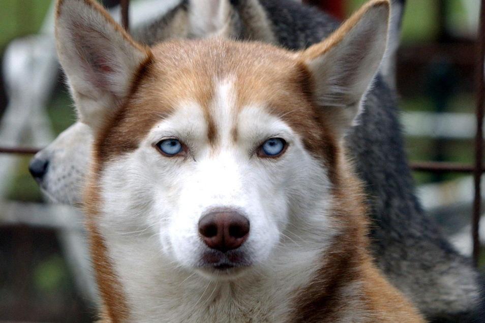 Mit einem Husky machten sich zwei Räuber im September in Dresden aus dem Staub. Dafür sitzen sie nun in Untersuchungshaft.