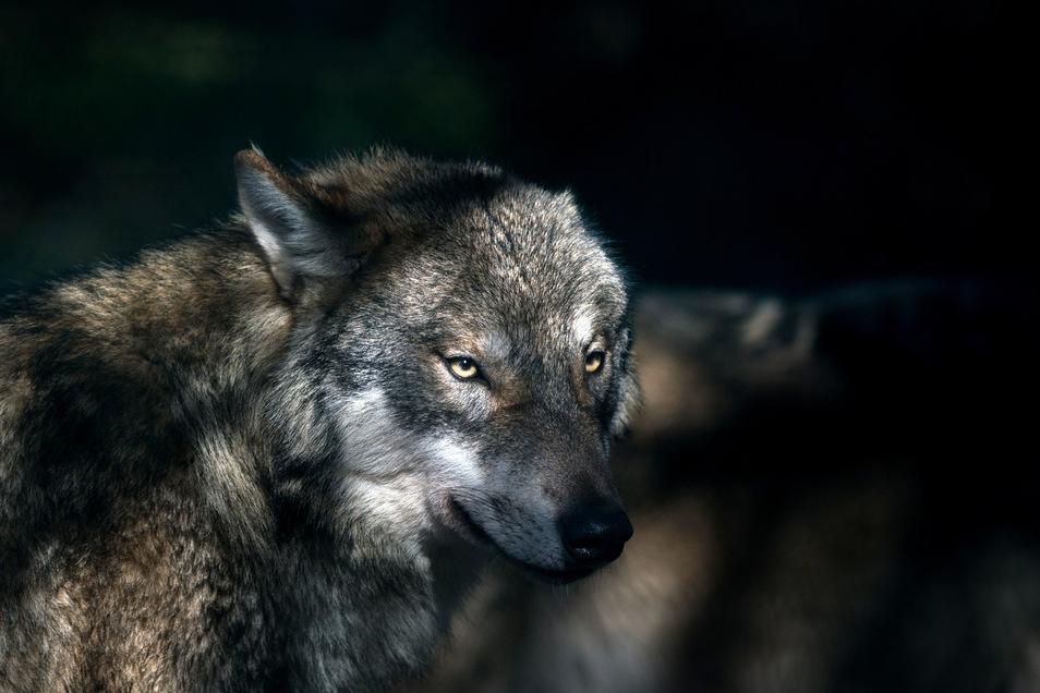 Die Zahl der Wölfe steigt.