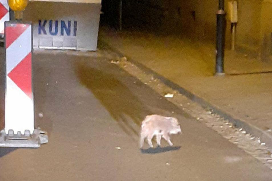 Ein Frischling mitten in Radeberg: Ein Anwohner fotografierte den Kleinen, als er die Otto-Uhlig-Straße überquerte. Offenbar handelt es sich um ein verirrtes Tier. Frischlinge sind meist mit der Bache unterwegs.