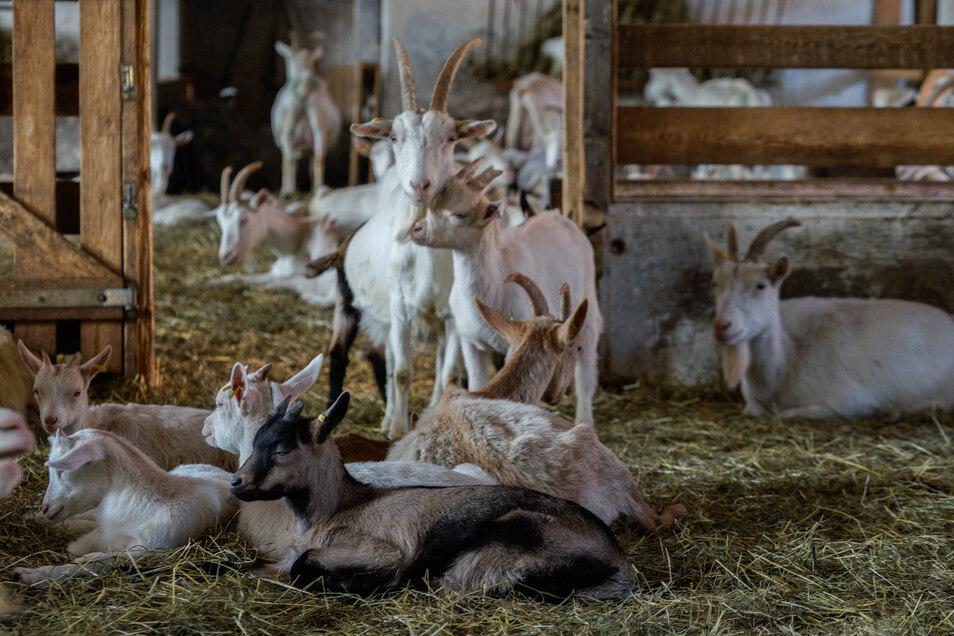 Die Ziegen im neuen Stall fühlen sich schon rundum wohl. Derzeit werden fast täglich junge Zicklein geboren.