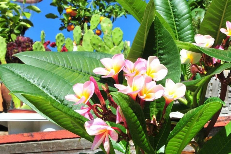 Neben Orangen oder Kakteen findet sich die Lieblingsblüte von Jana-Rennert Vetter: Die Plumeria.