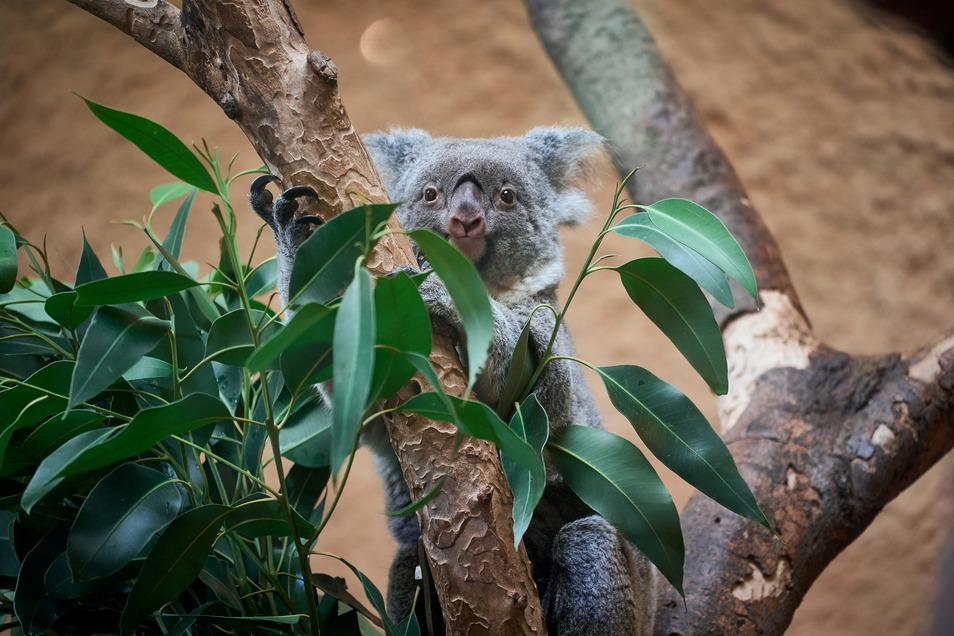 Die Zeit, in der sie nicht ruhen, nutzen Koalas vor allem zum Futtern. Sydney wechselt immer wieder die Äste, um an andere Sorten heranzukommen.