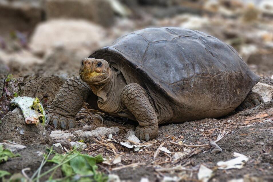 Ecuador, Galapagos Inseln: Die Spezies Chelonoidis phantasticus, eine vermeintlich ausgestorbene Riesenschildkröte, ist entdeckt worden.