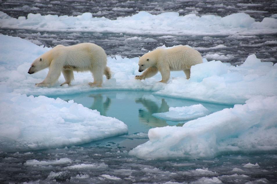 Eisbären gehen auf arktischem Meereis: Klimaschützer befürchten seit langem das Abschmelzen der Polkappen.