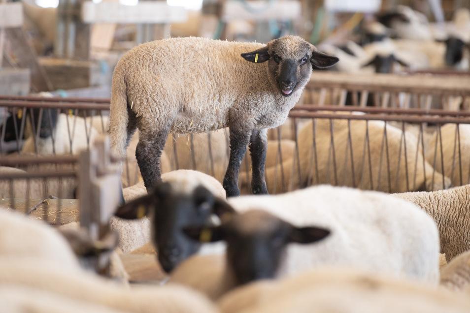 Sachsens Schäfer können zum Osterfest wegen der Corona-Krise weniger Lämmer verkaufen als in den vergangenen Jahren.