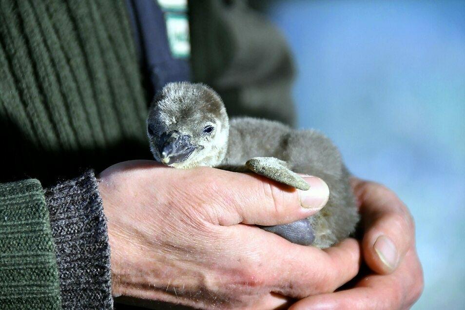 Eines der Pinguinbabys.