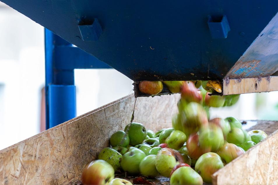 Über ein Band kommen die Äpfel in die Anlage, wo die Früchte gepresst werden und der Saft daraus in eine Wanne läuft.