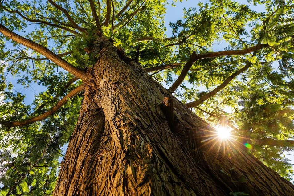 Auch ein Umweltmammutbaum steht in Friebels Garten.