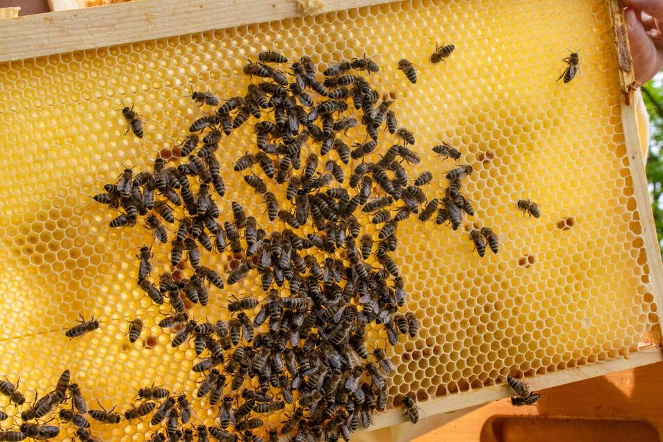 Ihre Bienen sind gut über den Winter gekommen, findet die 21-jährige Jung-Imkerin aus Zollschwitz.
