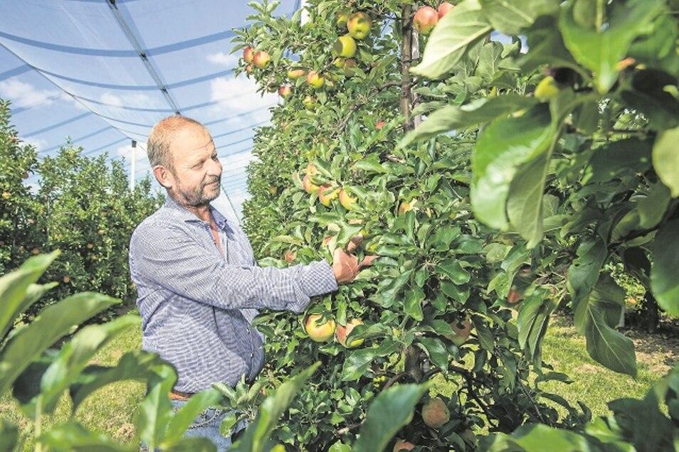 Steffen Menzel vom Obstbau Menzel in Stolpen steht auf seiner Apfelplantage mit Äpfeln der niederländischen Sorte Elstar. Diese Sorte reift an etwa 9.000 Bäumen. Auf der gesamten Plantage sind 16 Apfelsorten, die auf rund 17.000 Bäumen reifen, zu finden.