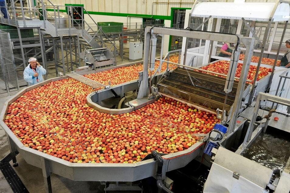 Die Obstland AG Dürrweitzschen hofft nach den Verlusten des Vorjahres auf eine gute Apfelernte in diesem Jahr.