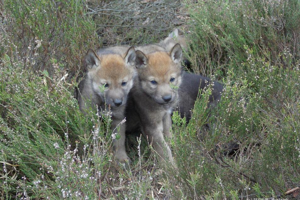 Diese Wolfswelpen wurden in Niederschlesien fotografiert.