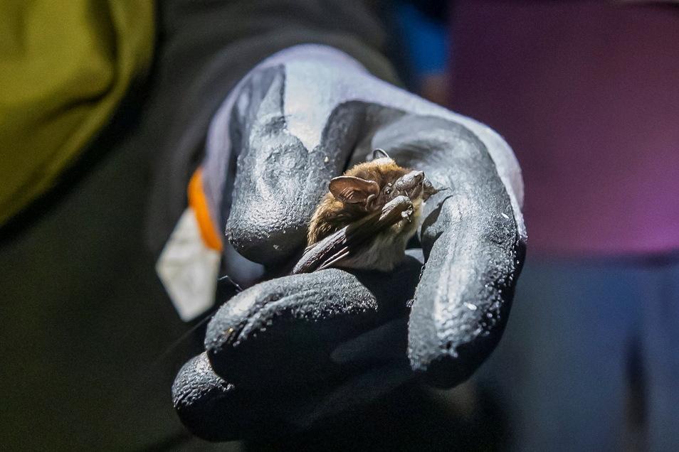 Zarte Schönheit: Das Alpenfledermaus-Männchen ist ungefähr so groß wie eine Streichholzschachtel.