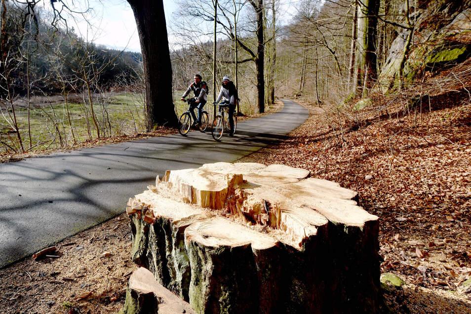 Baumfällarbeiten im Klosterwald Ostritz.
