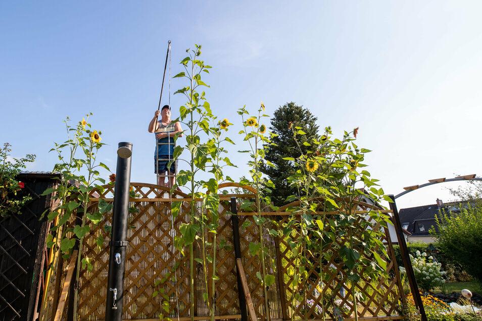 Steigt den Sonnenblumen mit dem Bandmaß hinterher: Hartmut Tomuschat. Die höchste hat es schon auf 4,20 Meter gebracht.