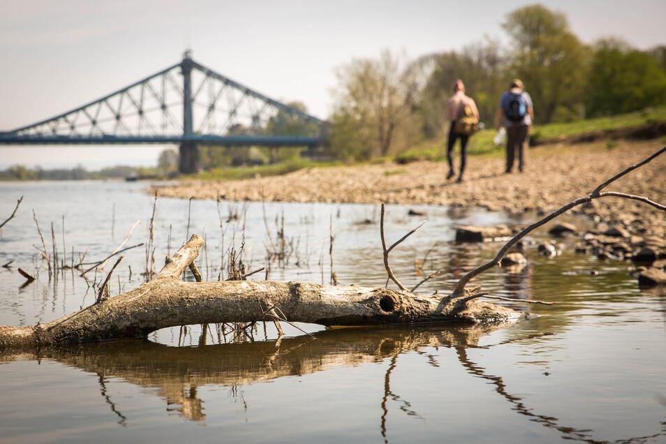 Trockenheit an der Elbe in Dresden in der Nähe des Blaues Wunder. Foto: Sven Ellger