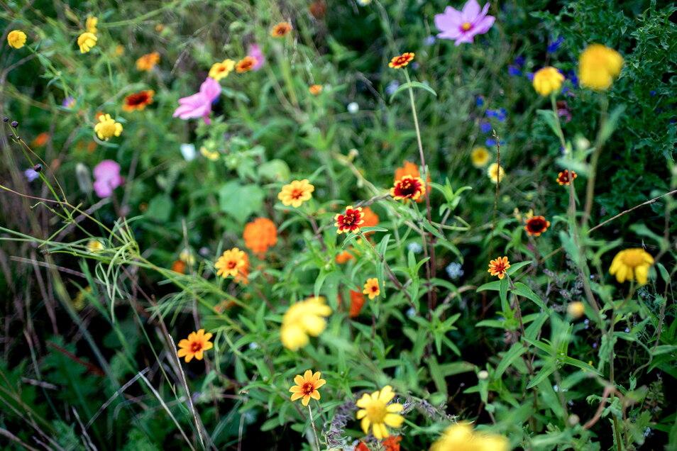 Blühflächen an Feldrändern sollen das Leben von Insekten erleichtern.